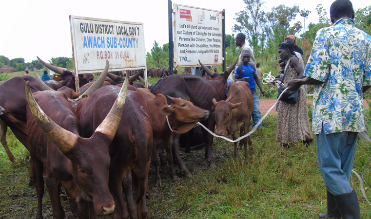 Beneficiaries of cattle restocking under PRDP2 during distribution at Awach Sub County Head quarters in Gulu district recently