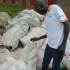 Gulu Farmers Shun Rotting Cassava Cuttings under Operation Wealth Creation