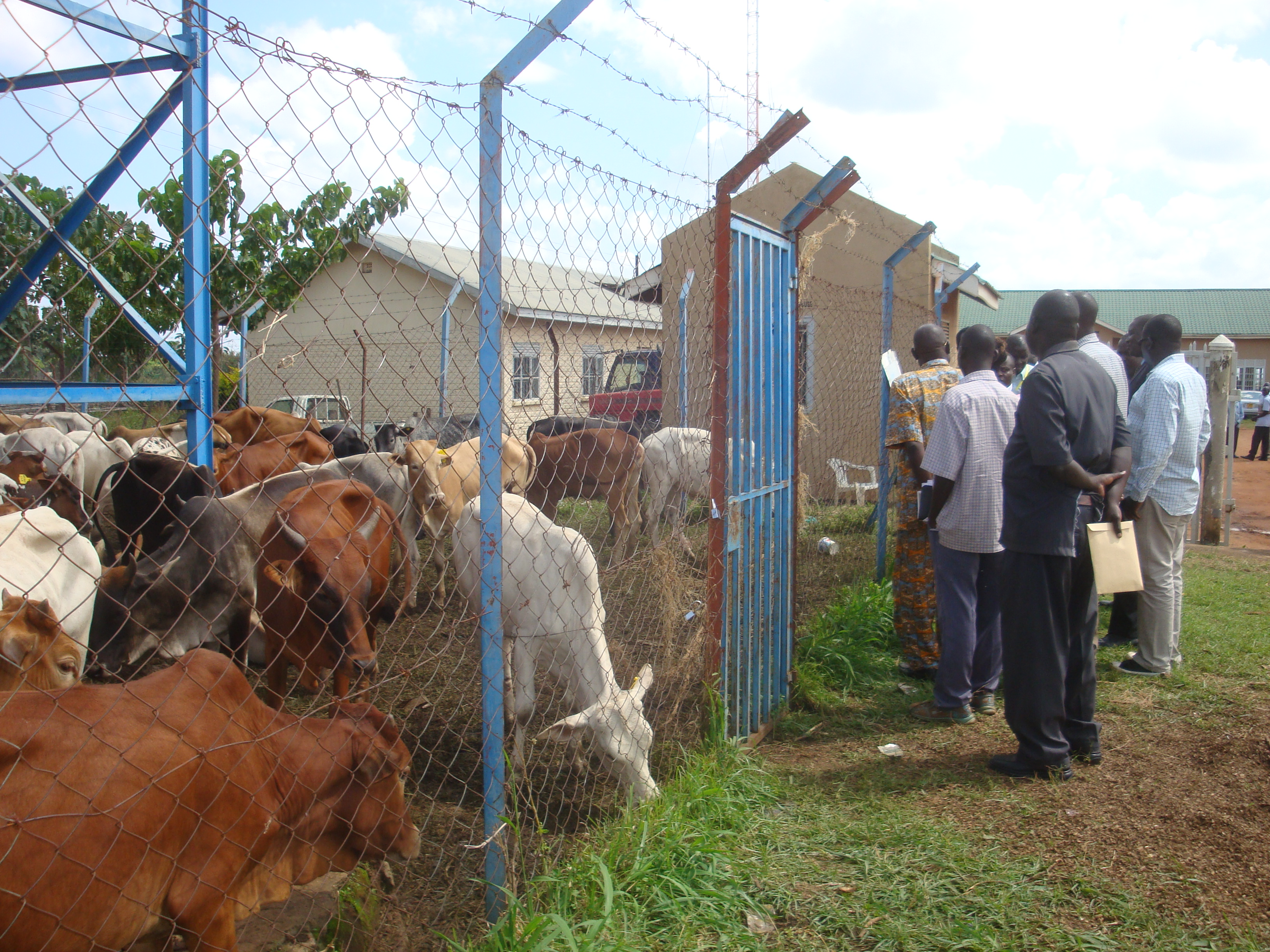 Amuru district leaders seeing the restocking cattle before they were distributing