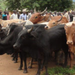 The herds of cattle stolen from Uganda by South Sudanese cattle raisers that were returned by the South Sudanese officials on Wednesday at Agoro.