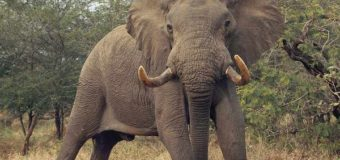 Agago Elephant Killer Convicted