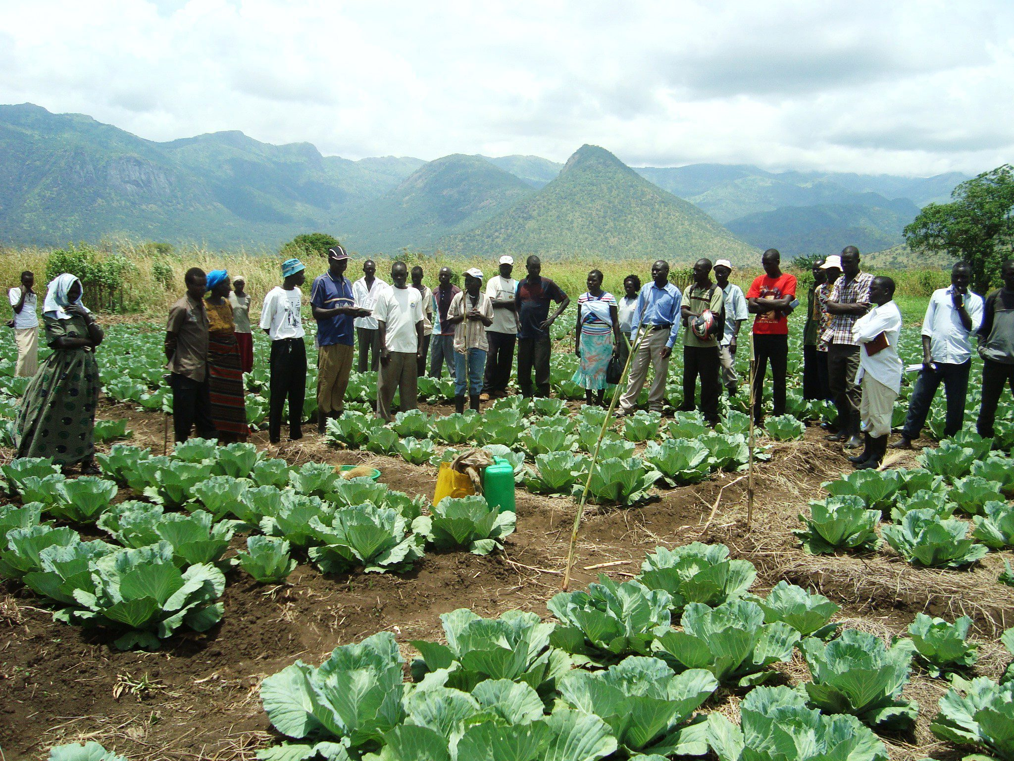 Agoro cabbage